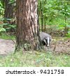Badger. Russian nature. - stock photo