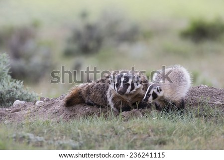 Badger sow with baby cub - stock photo