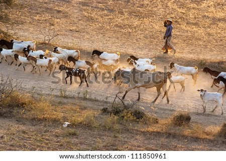 BAGAN, MYANMAR - FEBRUARY 14:  A woman lead a herd of animals down the road on February 14, 2011 in Bagan, Myanmar.  Most of Bagan people earn their living by raising livestocks.