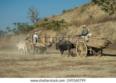 BAGAN, MYANMAR - FEBRUARY 6: Burmese oxen pull carts on February 6, 2014 outside Bagan. Myanmar is ethnically diverse with 135 ethnic groups of which most live in the countryside. - stock photo
