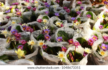 Lotus farmer stock images royalty free images vectors shutterstock bags with beautiful multi colored lotus flowers water lily plant on the street mightylinksfo