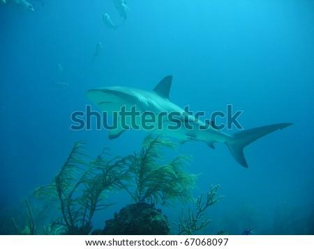 bahama reef shark - stock photo