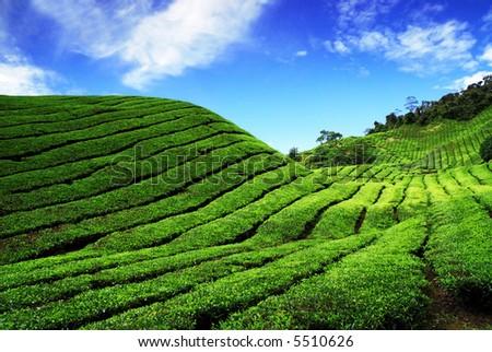 Bahrat Tea Plantation in Cameron Highland, Malaysia - stock photo