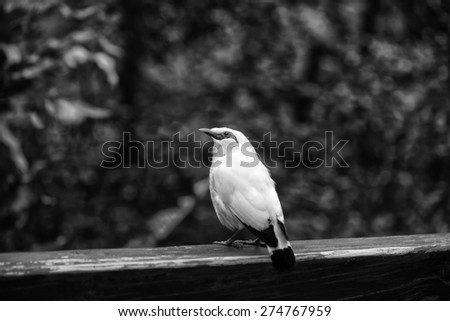Bail Mynah Bird Close Up in Black and White Strong Contrast with Blur Background - stock photo