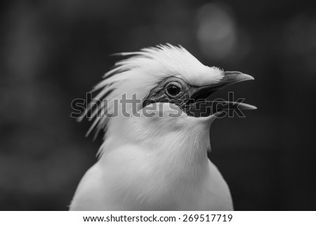 Bail Mynah Bird Opening its Mouth in Black and White with Blur Background - stock photo