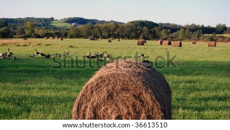 bail of hay with geese in background - stock photo