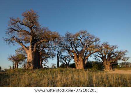 Baines Baobab - stock photo