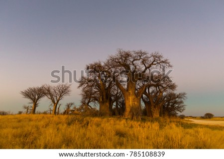 Baines Baobab trees in early morning light