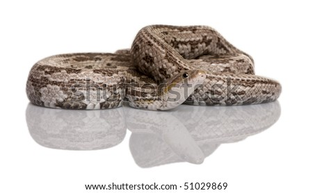 Baird's rat snake or Baird's ratsnake or Baird's pilot snake, Elaphe bairdi, in front of white background - stock photo