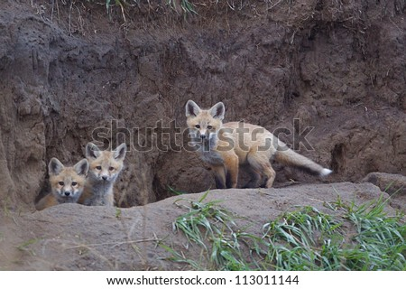 Bakken Formation Wildlife; Red Fox pups at  their den in the prairie habitat of western North Dakota, where the oil boom has led to rapid industrial development, causing environmental concerns
