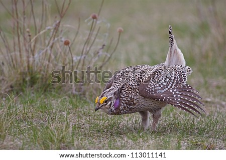 Bakken Formation Wildlife; Sharp-tailed Grouse on breeding grounds in the prairie grassland habitat of western North Dakota, where the oil boom has led to rapid development and habitat destruction - stock photo
