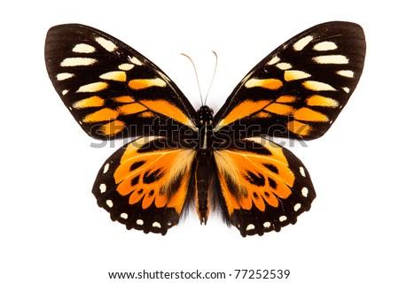 Balck and orange butterfly Papilio zagreus isolated on white background - stock photo
