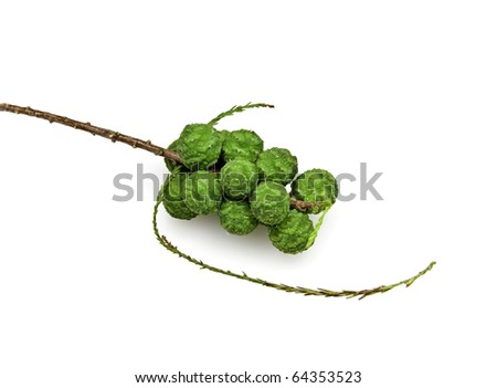 Bald Cypress Cones and Leaves - stock photo