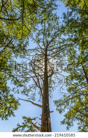 Bald cypress is photographed a backlit - stock photo