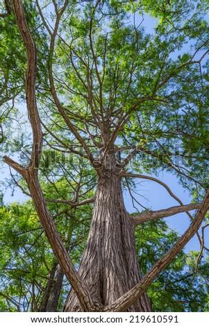 Bald cypress on blue sky background - stock photo