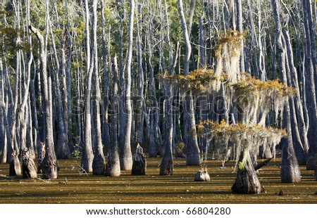 Bald Cypress Swamp in the Fall - stock photo