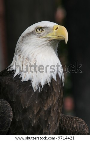 Bald Eagle 1 - stock photo
