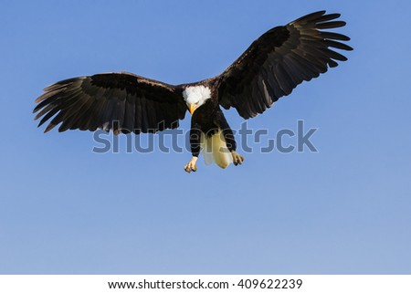 Bald Eagle about to pounce. A magnificent bald eagle spreads its wings wide as it prepares to pounce on its target below. - stock photo