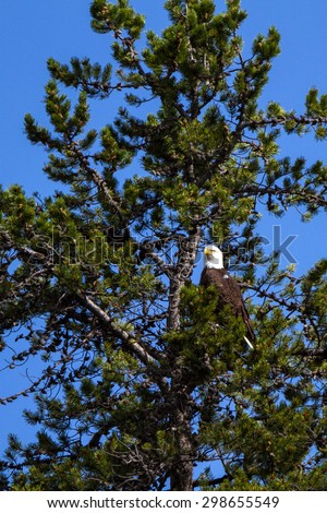 Bald Eagle above the Snake River in Grand Teton National Park - stock photo