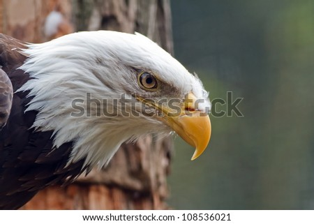 bald eagle after watching them