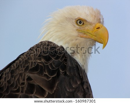 Bald eagle, Alaska - stock photo