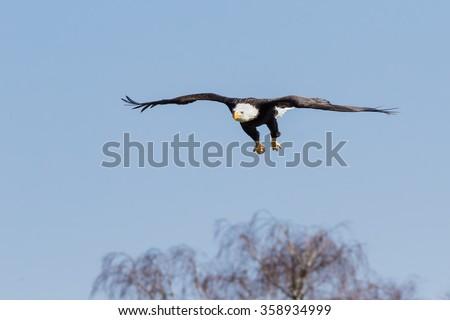 Bald eagle approaching. A splendid bald eagle approaches its landing spot. - stock photo