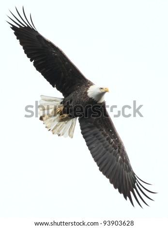 Bald eagle at Conowingo Dam, MD, USA. - stock photo