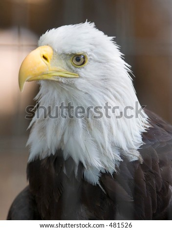Bald Eagle at Denver Zoo - stock photo