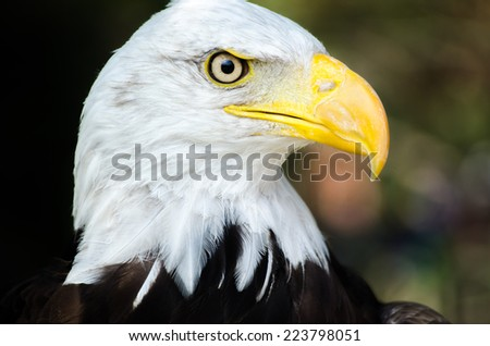 Bald eagle at zoo alone