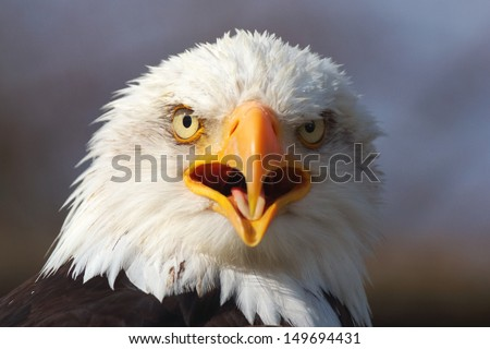 Bald Eagle Call - stock photo
