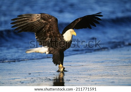 Bald Eagle catching fish in river - stock photo