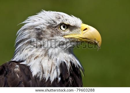 Bald eagle close up - stock photo