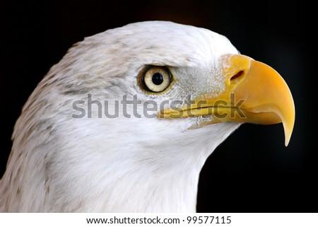 bald eagle, close up - stock photo
