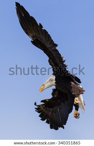 Bald eagle coming down. A majestic bald eagle makes an impressive sight as it comes down from the sky. - stock photo