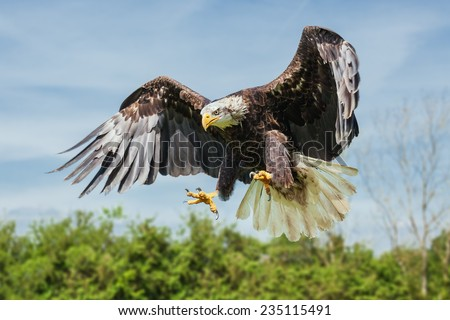 Bald eagle coming down. A majestic bald eagles spreads its talons as it prepares to land. - stock photo