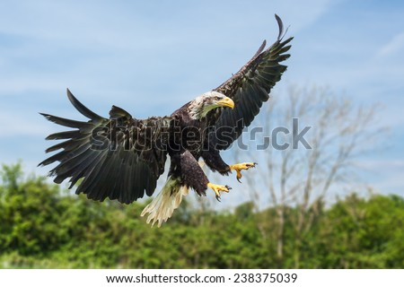 Bald eagle coming in. A majestic north american bald eagle descends from the sky. - stock photo