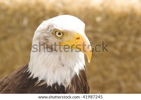 bald eagle, expectant, focused on the eyes