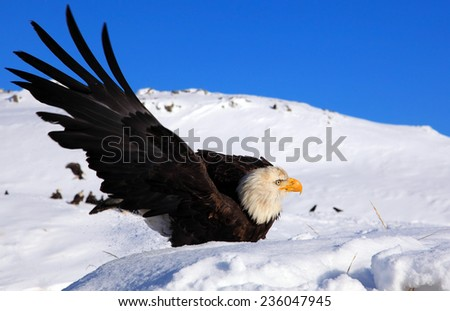 Bald eagle extending its wing