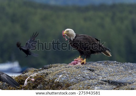 Bald Eagle feeding on prey, Skeena-Queen Charlotte Regional District, Haida Gwaii, Graham Island, British Columbia, Canada - stock photo
