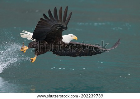 Bald Eagle fishing over green water, Homer Alaska - stock photo