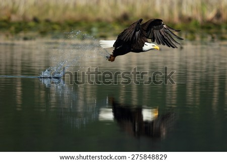 Bald Eagle fishing with a reflection - stock photo
