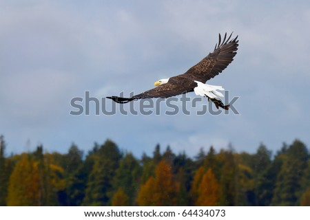 bald eagle fly away into the the sky after catching a northern pike; cloudy sky with autumn colored trees in the background