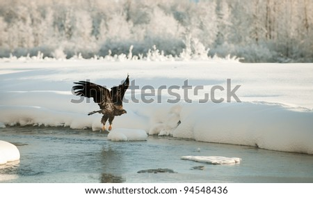 Bald Eagle flying against snow-covered mountains of Alaska. Sunset.