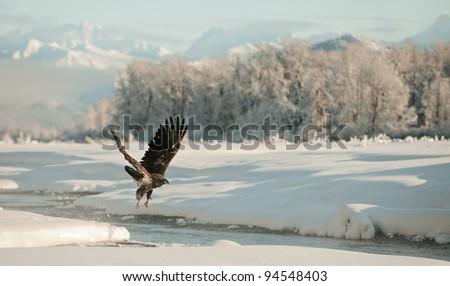 Bald Eagle flying against snow-covered mountains of Alaska. Sunset.  (Haliaeetus leucocephalus washingtoniensis) - stock photo