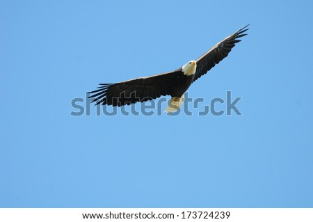 Bald Eagle flying against the Clear Blue Sky - stock photo