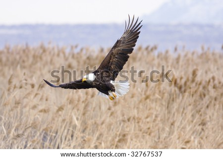 Bald Eagle flying around looking for food at Farmington Bay, UT