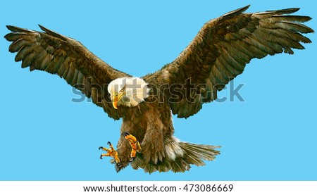 Bald eagle flying hand draw and paint color on blue background illustration.