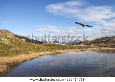 Bald eagle flying over a frozen lake in the Canadian mountains in early fall.