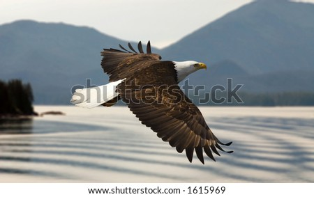 bald eagle flying over lake with mountains - stock photo