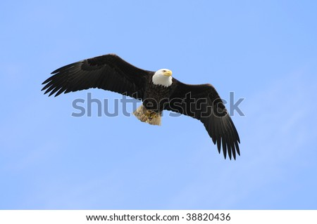 Bald Eagle Flying Overhead - stock photo